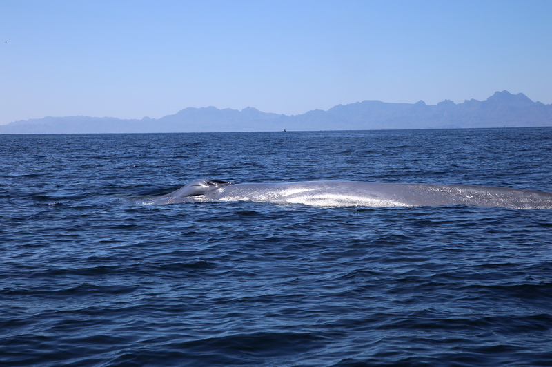 Day 6 – Blue whales